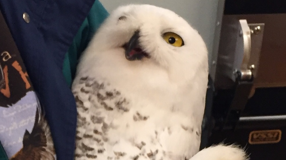snowy owl trapped at airport treated at new london veterinarian s
