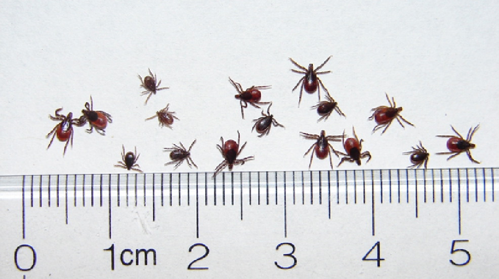 File photo of deer ticks. (Wisconsin DNR)