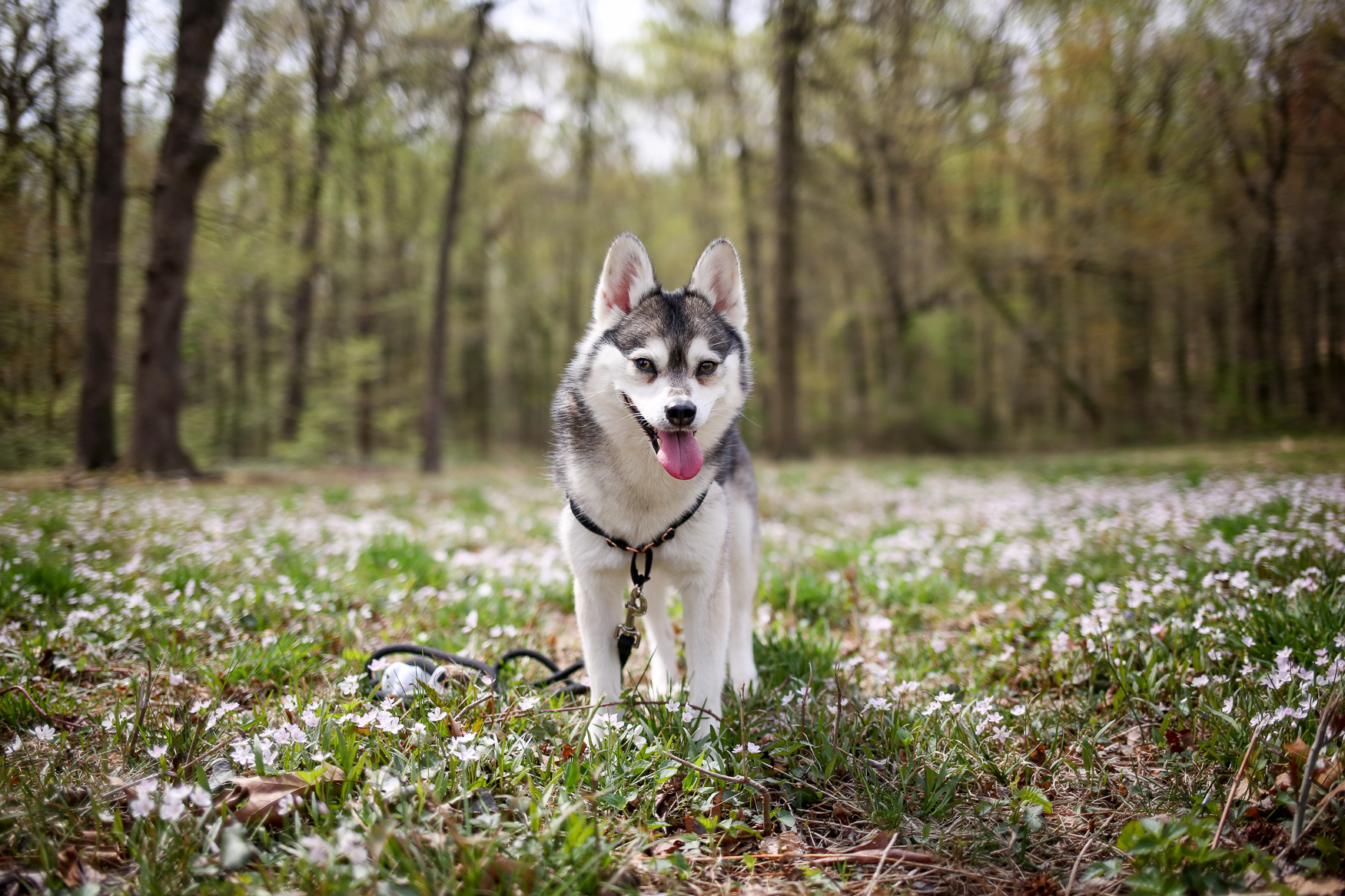 "Meet Mercer, a six year old Alaskan Klee Kai, who came to live with his mom in Del Ray/Old Town at 8 weeks old. He is a true mama's boy and always hopes to be within 3 feet of mom at all times. Mercer also loves a really ratty, half-deflated kids' soccer ball that he can pick up and carry around; he loves any opportunity to play fetch with that ball. He also truly enjoys a good long walk and he has trekked all over trails in D.C., Maryland and Virginia. Because he just wants to be with mom all the time, he's a very good traveler and will hang out in his plane carrier without making a peep. He's been to Texas, California, Florida and, most importantly, Washington State to visit mom's family. Mercer knows several tricks, but one of his favorites is to ""sit pretty"" where he balances on his haunches and uses his adorable begging face to get some treats! If you're interested in having your pup featured, drop us a line at aandrade@dcrefined.com, but we do have quite the waiting list right now so we appreciate your patience! (Image: Amanda Andrade-Rhoades/DC Refined)"