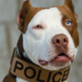 Kansas police hope to change perception of pit bulls with new drug detective