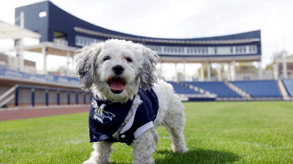 "In this Feb. 22, 2014 photo, Milwaukee Brewers mascot, Hank, is at the team's spring training practice in Phoenix. The team has unofficially adopted the dog and assigned the name ""Hank"" after baseball great Hank Aaron. (AP Photo/Rick Scuteri)"