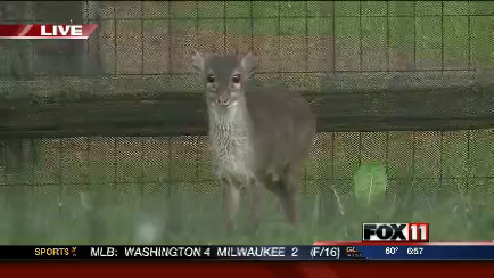 Blue duiker at NEW Zoo in Suamico