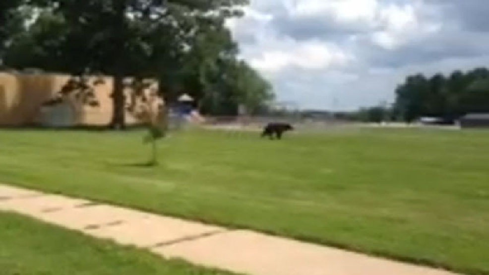 Thumbnail for bear in Clintonville ReportIt video.