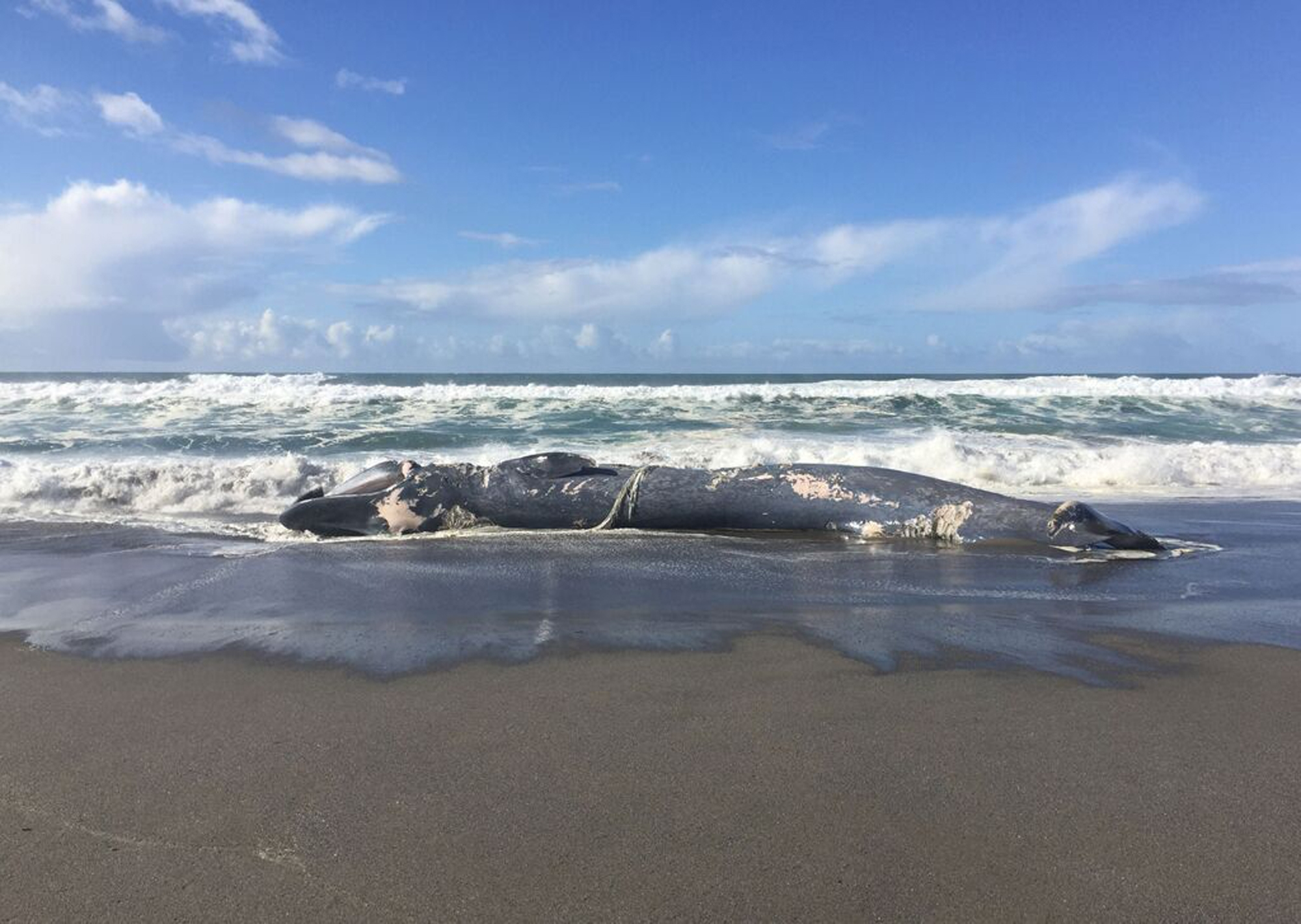 This undated photo provided by the Oregon Parks and Recreation Department, shows the carcass of a blue whale that washed up on the beach recently near Gold Beach, Ore.  Authorities estimate that the 78-foot long dead blue whale was dead for about two weeks before it washed up onto the sandy beach. (Oregon State Parks via AP)<p></p>