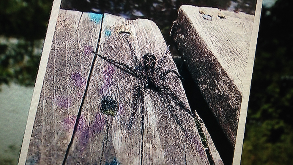 A fishing spider sits on a dock near Lakewood