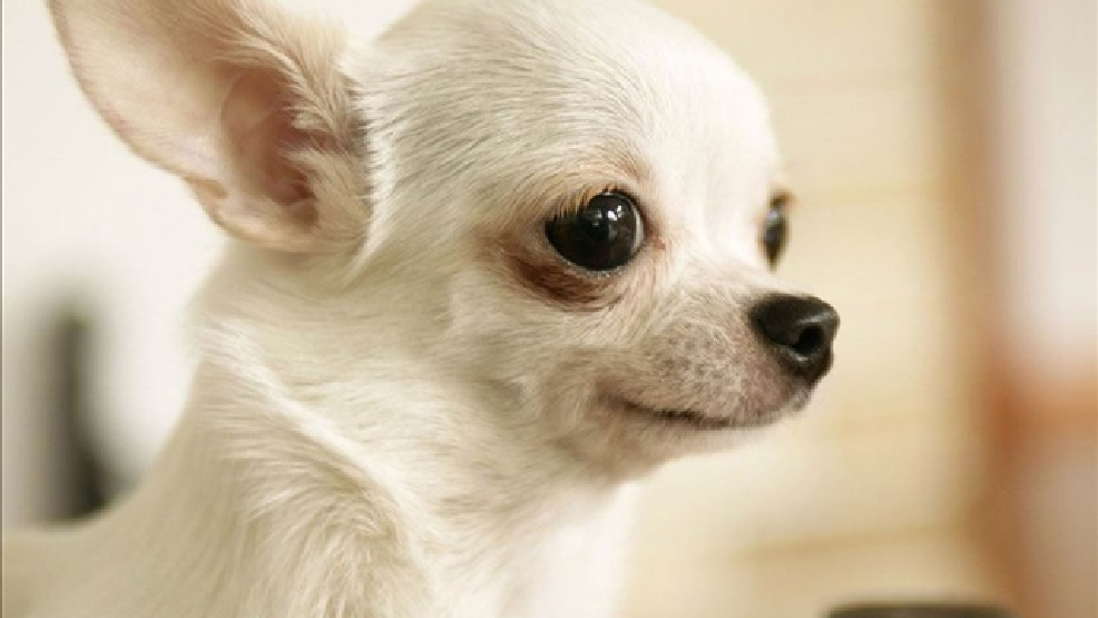 Chihuahua (Photo Credit: GNU Image)