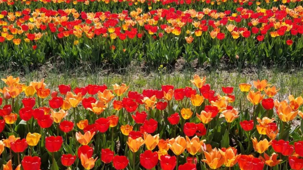 Peak bloom: Millions of tulips ready for picking in Northern Virginia