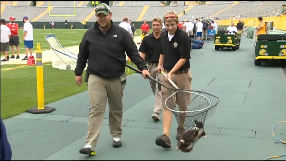 Crews catch cat at Lambeau Field on August 28, 2014.