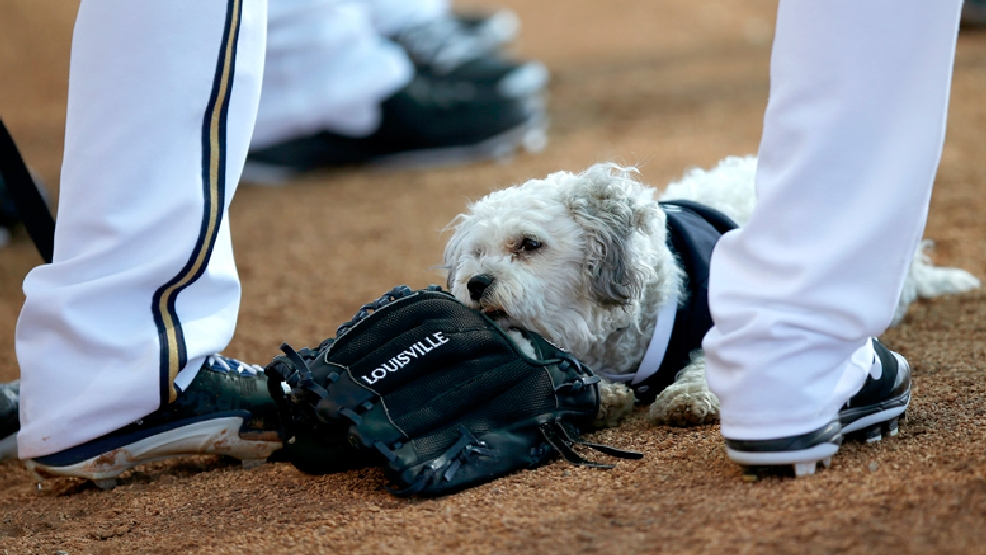 Milwaukee Brewers' new spring training mascot Hank chews on a glove as he attends a meeting of pitchers during Brewers spring training baseball practice, Thursday, Feb. 20, 2014, in Phoenix. (AP Photo/Ross D. Franklin)