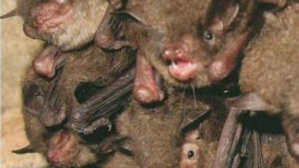 Endangered Bats Delay Construction Of New Herbert Hoover High School Wchs