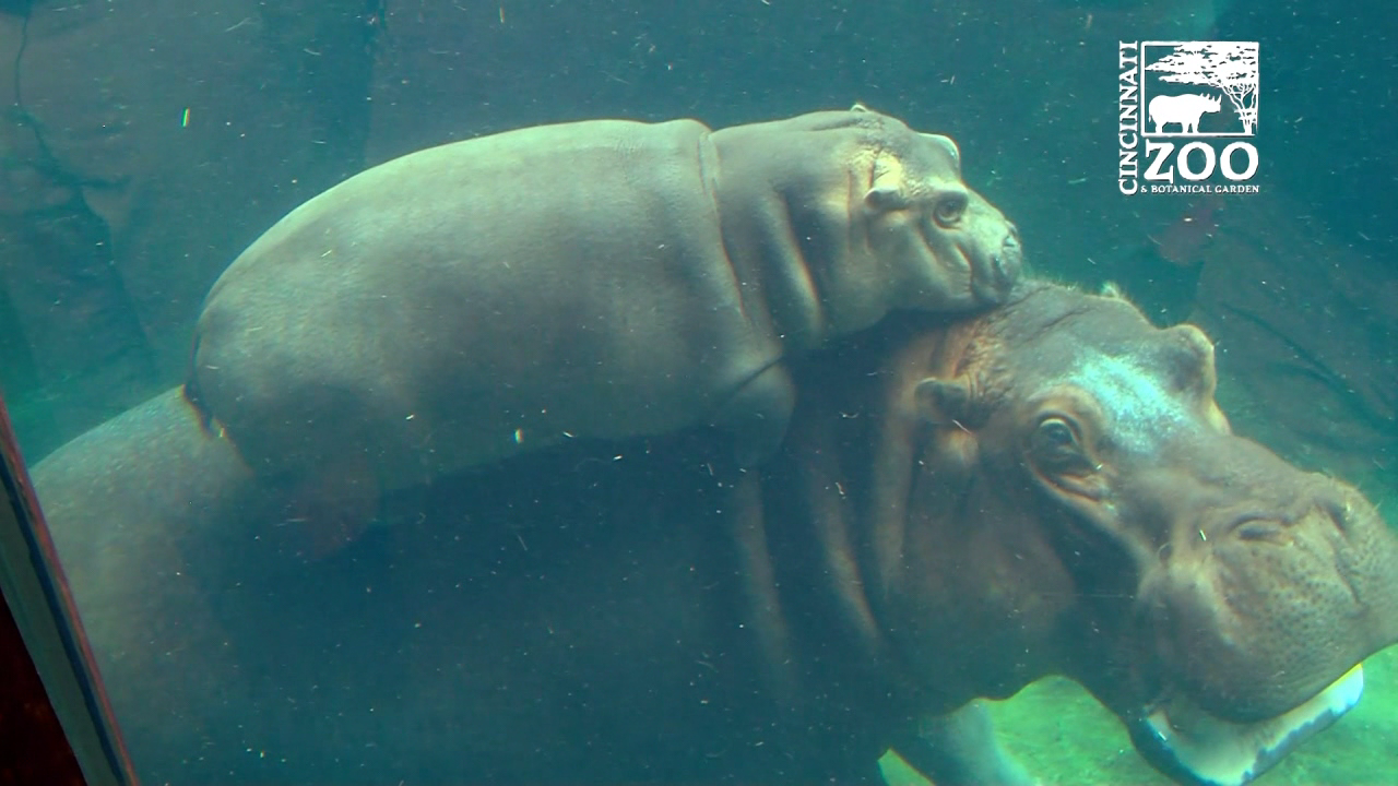 Graeter's just released their latest new flavor, and it's paying tribute to our favorite little hippo! (Cincinnati Zoo)
