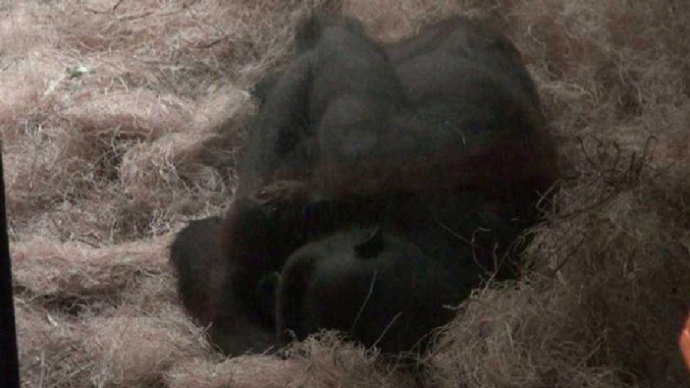 The gorilla, named Kassiu, was born March 19 to 13-year-old mother Naku and 27-year-old father Cassius. (WITI FOX 6)