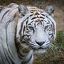 Last white tiger at Cincinnati Zoo euthanized