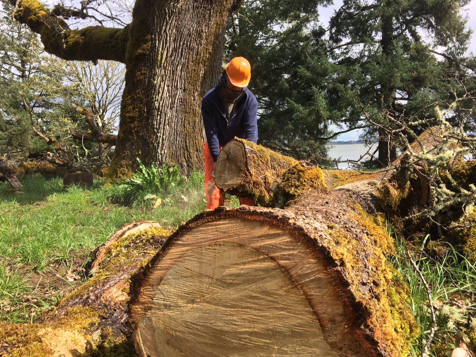 The Ellmaker Oak in Zumwalt Park is at least 350 years old. The December 2016 ice storm destroyed about 50 percent of the tree's structure, but the Friends of Zumwalt Park are working to help the tree live another century - or more. (SBG)