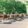 Longhorns take over streets of Amarillo