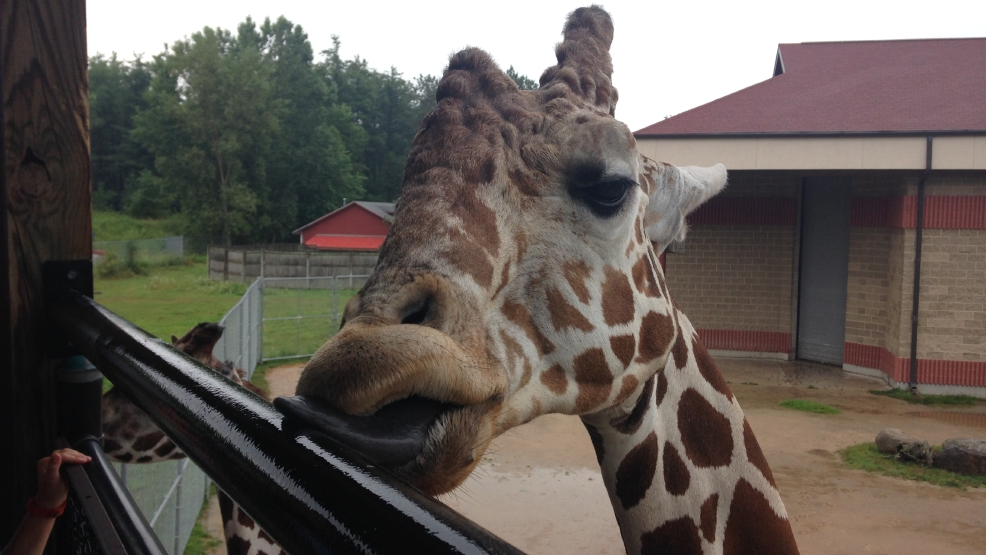 Hodari is a 10-year-old male giraffe living at the NEW Zoo in Suamico.