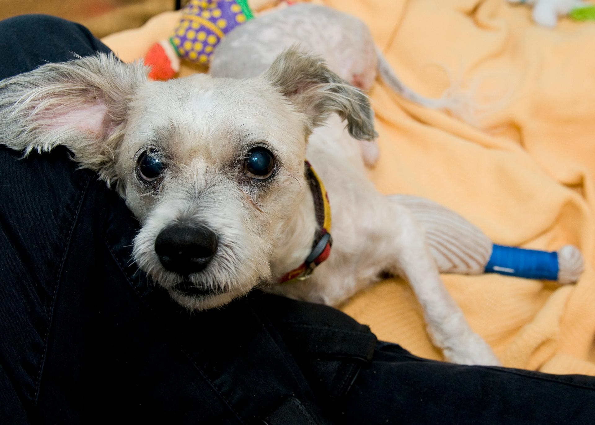 This senior pup has been through a lot in the last month, but you certainly wouldn't know it. His joyful, sweet disposition is infectious and he's sure to put a smile on the face of everyone he meets. (HRA)