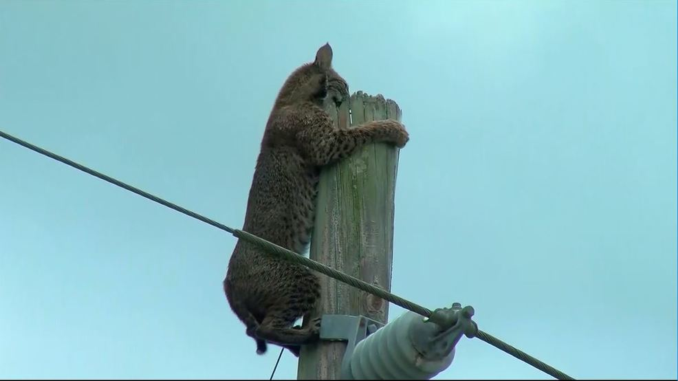 Bobcat stuck on pole.JPG