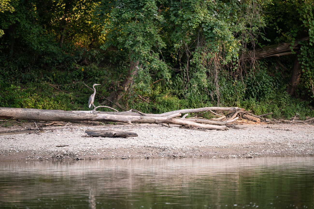 The Little Miami River holds State and Federal Scenic River designations.  It supports a variety of wildlife and is great for bird watching. You can usually see great blue herons along the shoreline. / Image: Allen Meyer // Published: 9.7.18