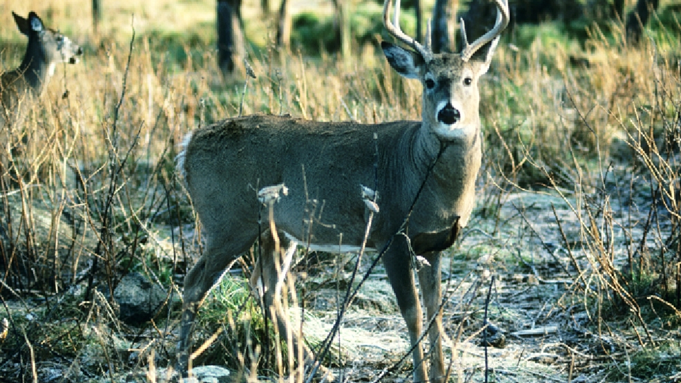 A whitetail buck and doe. (Source: Wisconsin DNR/Herbert Lange)