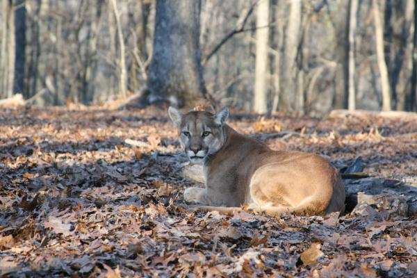 The mountain lion caught in Reynolds County was coming out of sedation.