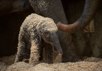 Asian Elephant Calf 0402 - Grahm S. Jones, Columbus Zoo and Aquarium.jpg