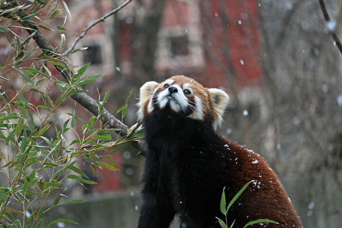 One of the Cincinnati Zoo & Botanical Garden's red pandas / Image: Larry Thomas // Published: 1.16.19