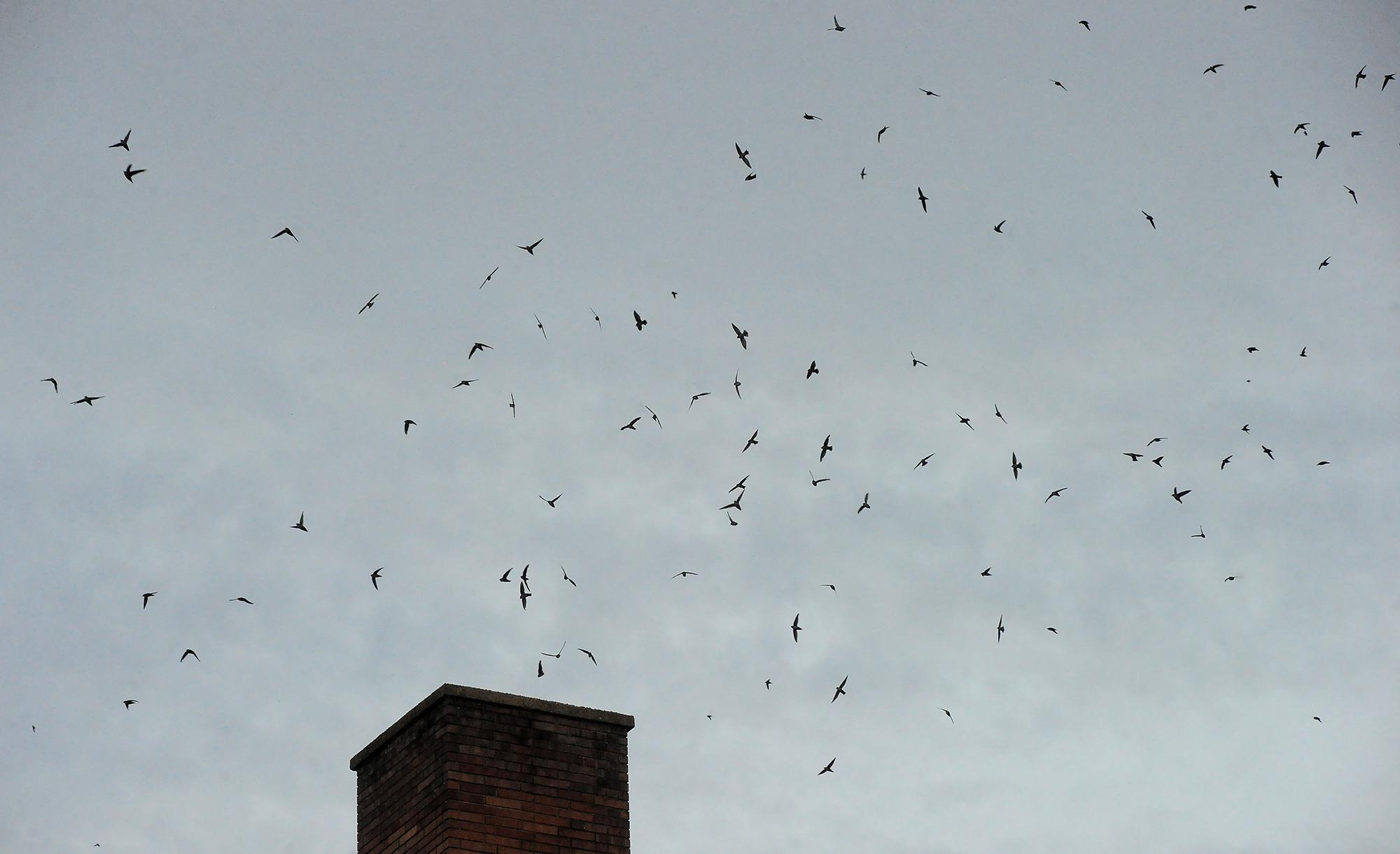 Swifts fill the sky over a chimney at Hedrick Middle School where they roost at night during their seasonal migration. Photo by Denise Baratta