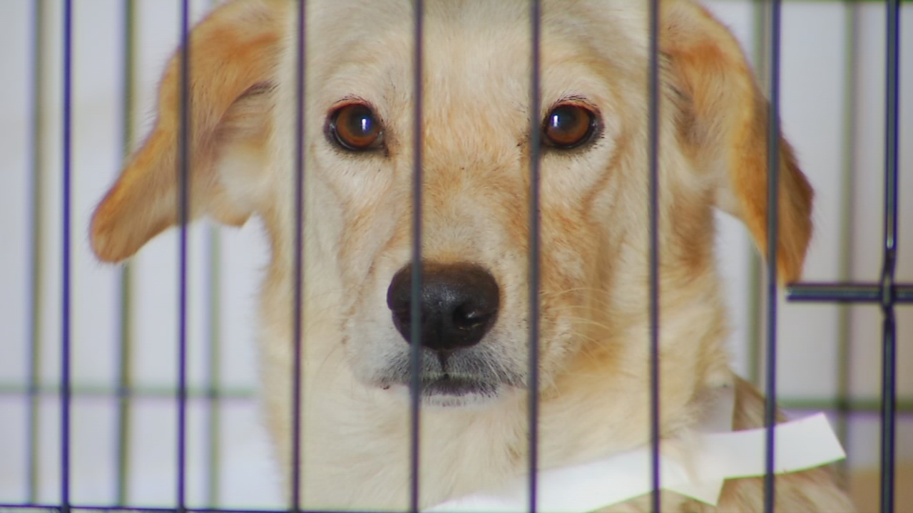 In the past six months, Rutherford County deputies have looked into 110 animal neglect cases. About 10-15 percent of those involved owners having more than 10 animals on their properties. Similar cases have popped up all over Western North Carolina. In 2015, deputies took in 59 dogs and cats from a Mitchell County home. In 2016, a man was charged with 55 counts of animal cruelty. But the number that tops them all was in Haywood County, where 140 dogs were rescued from a single home. (Photo credit: WLOS staff)