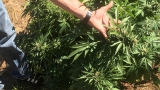 12 cases of illegally producing marijuana investigated during autumn in Douglas County