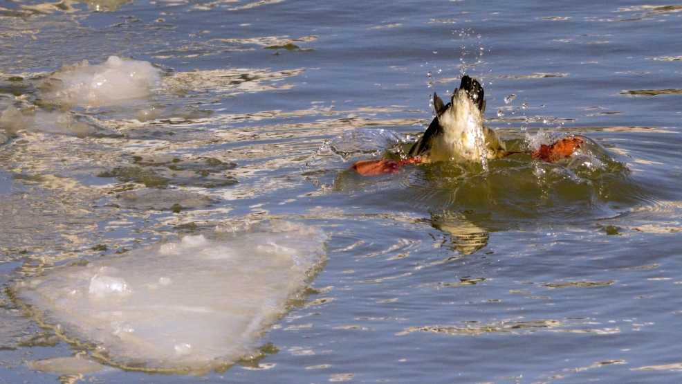 Hungry ducks dive into the water for minnows and mussels on the Manitowoc River in Manitowoc, Thursday, Feb. 27, 2014, after the Susie-Q fishing trawler, from the Susie-Q Fish Co. in Two Rivers, broke up the ice. (AP Photo/Herald-Times Reporter, Katelyn Sheck)