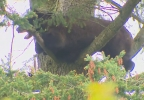 bear_in_tree_03.jpg