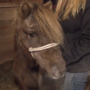 Bridgton shelter raises money for pony's penis surgery