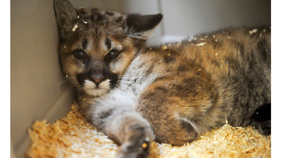 This June 5, 2014 photo shows the new baby male cougar resting inside the indoor area of the cougar exhibit building at the Lincoln Park Zoo in Manitowoc. (AP Photo/Herald-Times Reporter, Sue Pischke)