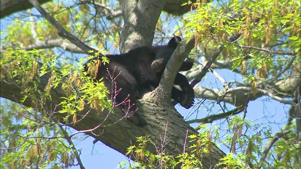 This black bear was found in a tree in Shawano Thursday, May 29, 2014.
