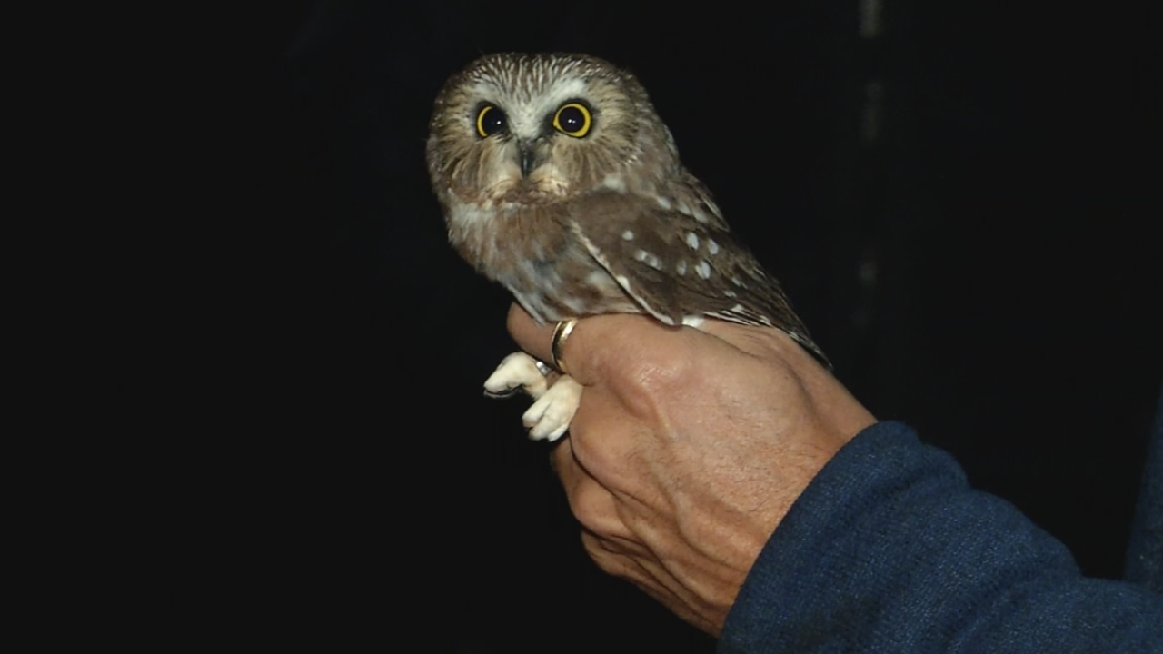 Most people have never heard of, let alone seen a Saw Whet Owl. (WCHS/WVAH)<p></p>