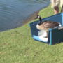 A goose saved six weeks ago was set free today