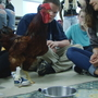 Buncombe County students build prosthetics for rooster that can barely walk